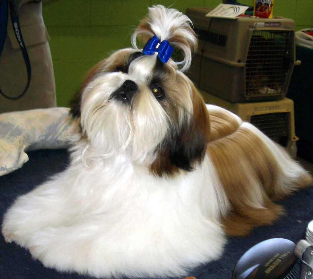 Crochet shih tzu haircuts medium hairstyles with bangs for women over